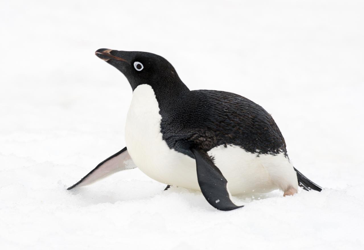 Adelie Penguins - Foto von  Christopher Michel, 2013