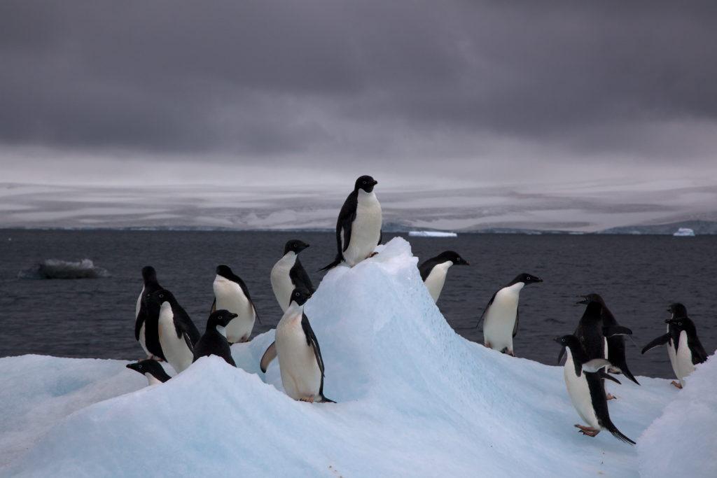 Adelie_Penguins_on_iceberg, Foto von Jason Auch, 2008